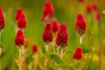 Osivo - Jetel inkarnát (Trifolium incarnatum) - 0,5 kg