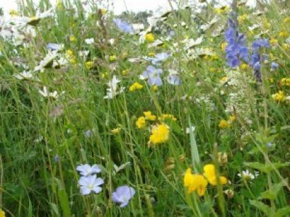 ceska-kvetnice-osivo-10-g_1631_1814.jpg